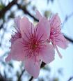 Il fiore di ciliegio
